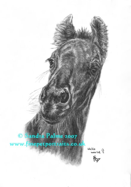 Friesian horse foal charcoal portrait