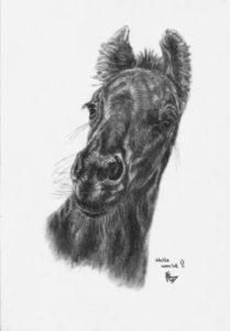 Friesian horse foal